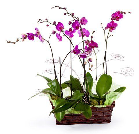 cesta de orquidea