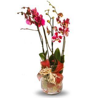 Arreglo-de-2-orquÔëádeas-phalaenopsis-en-jarrÔǦn-de-vidrio-1