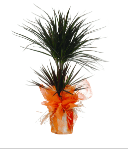 Planta Drácena