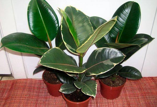 Ficus ถู - เชื่อมโยงไปถึงและดูแลที่บ้านการสืบพันธุ์และการเจ็บป่วย