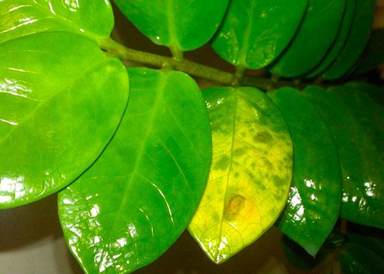 Zamiculkas: foglie gialle, motivi per cui fare