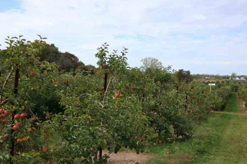 Apple Orchards at Crane Orchards