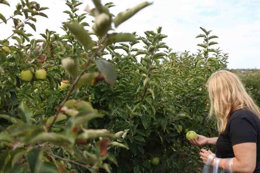 Woman picking apples in at Crane orchards
