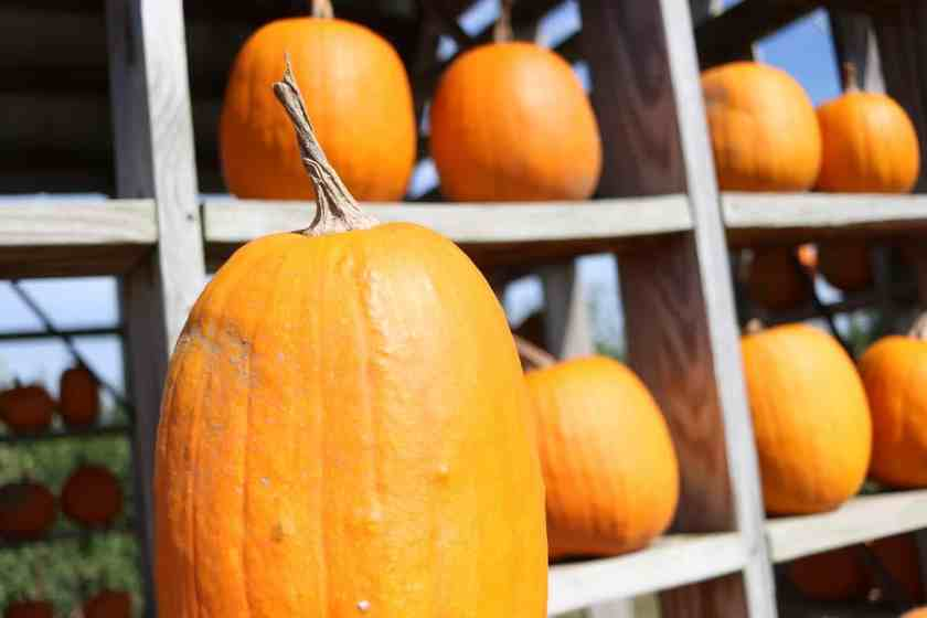 large Pumpkins lined on shelves for sale at Crane Orchards