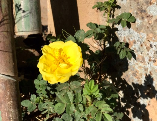 Wild Yellow Rose