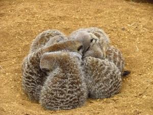 meerkat family 4