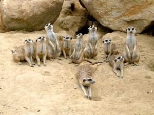 meerkate family 5
