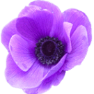 anemone_d4.png