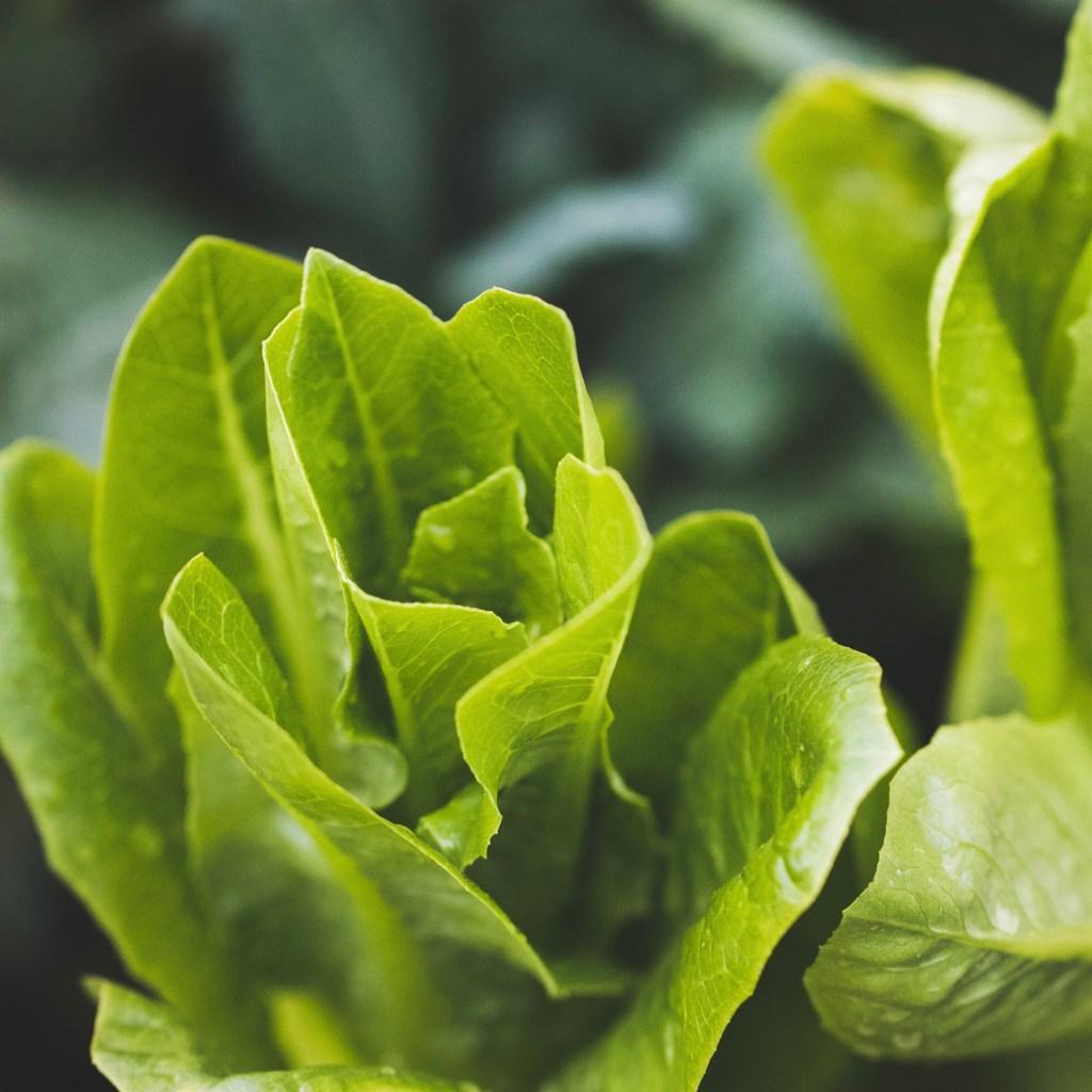Lettuce Little Gem (2)