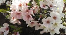 eaf3425239a4c29435d9c2bc15cf9388 - 桜の季節🌸