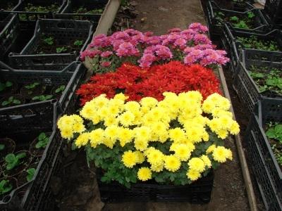 Горшечные хризантемы – фото цветов садовые, комнатные ...