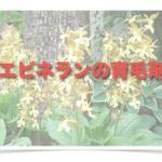 エビネ蘭育毛剤