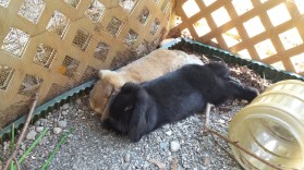 rabbits,Cheraw, Portland, Blog 063