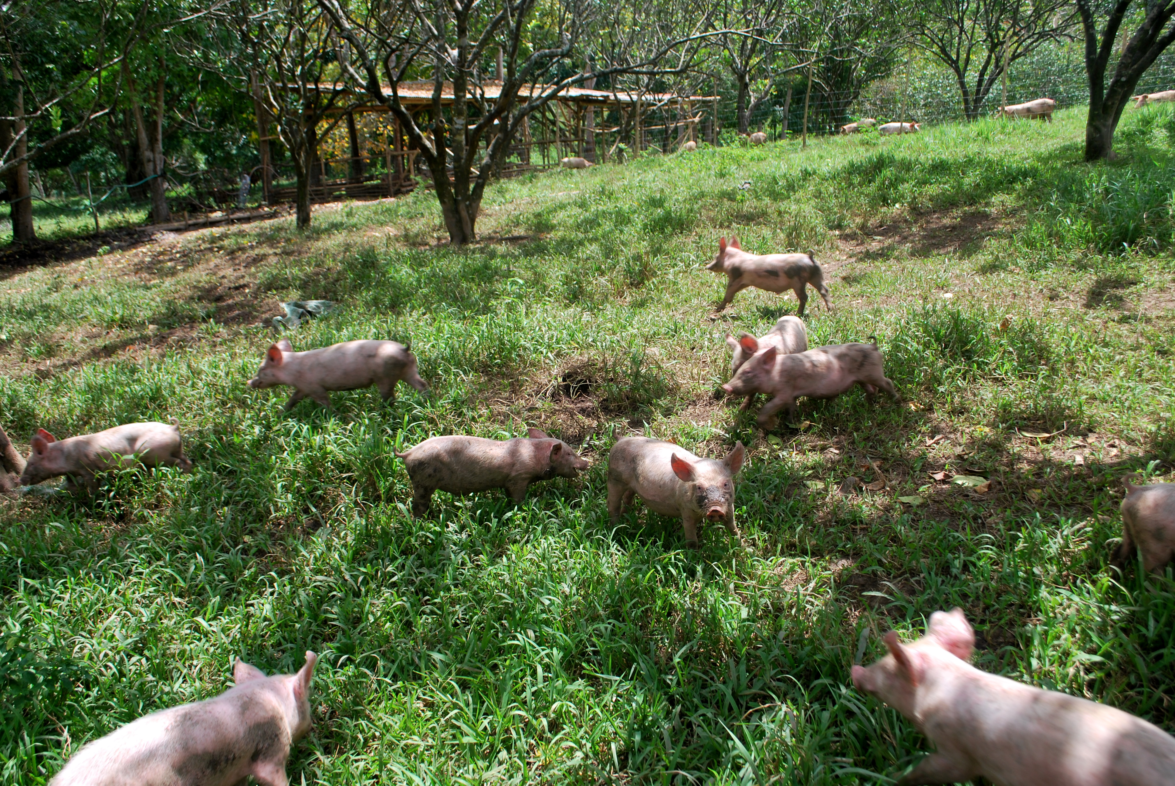 Pig Heaven What Makes Free Range Pigs Different Our