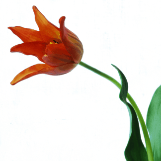 Tulip-on-a-stem-orange-64cm-detail