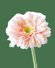 Gerbera-pink-1