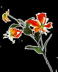 Flowerdutchess-gloriosa-orange-2
