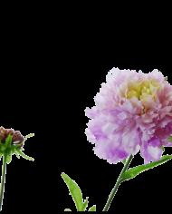 FlowerDutchess-Duifkruid-detail-3