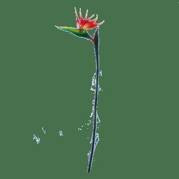 FlowerDutchess-Strelitzia