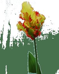 FlowerDutchess-Parkiet-tulp-groen-geel-detail