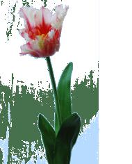 FlowerDutchess-Parkiet-tulp-roze-detail-1
