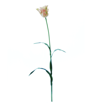 FlowerDutchess-Parkiet-tulp-roze-wit