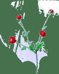 FlowerDutchess-ranonkeltakje-fuchsia-rood