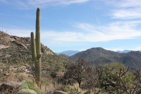Saguaro and Cholla Cactus