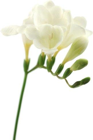 画像サンプル-写真:白いフリージア