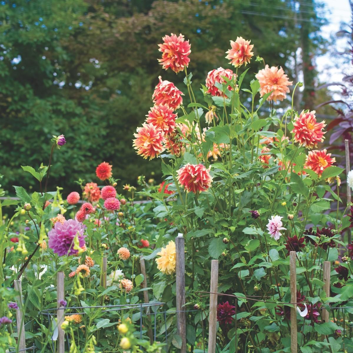 Dahlia Garden. U0027