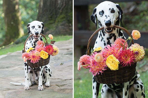 flower collars for dogs, wedding dogs, flower dogs