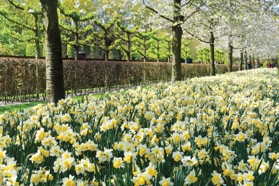 Amsterdam's famous Keukenhof garden bursts with a display of daffodils each spring. © imageBROKER / Alamy Stock Photo