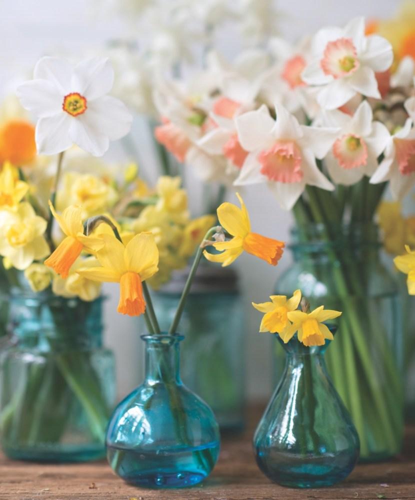 narcissus, daffodils, jonquils