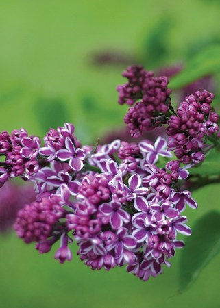quick facts about lilacs
