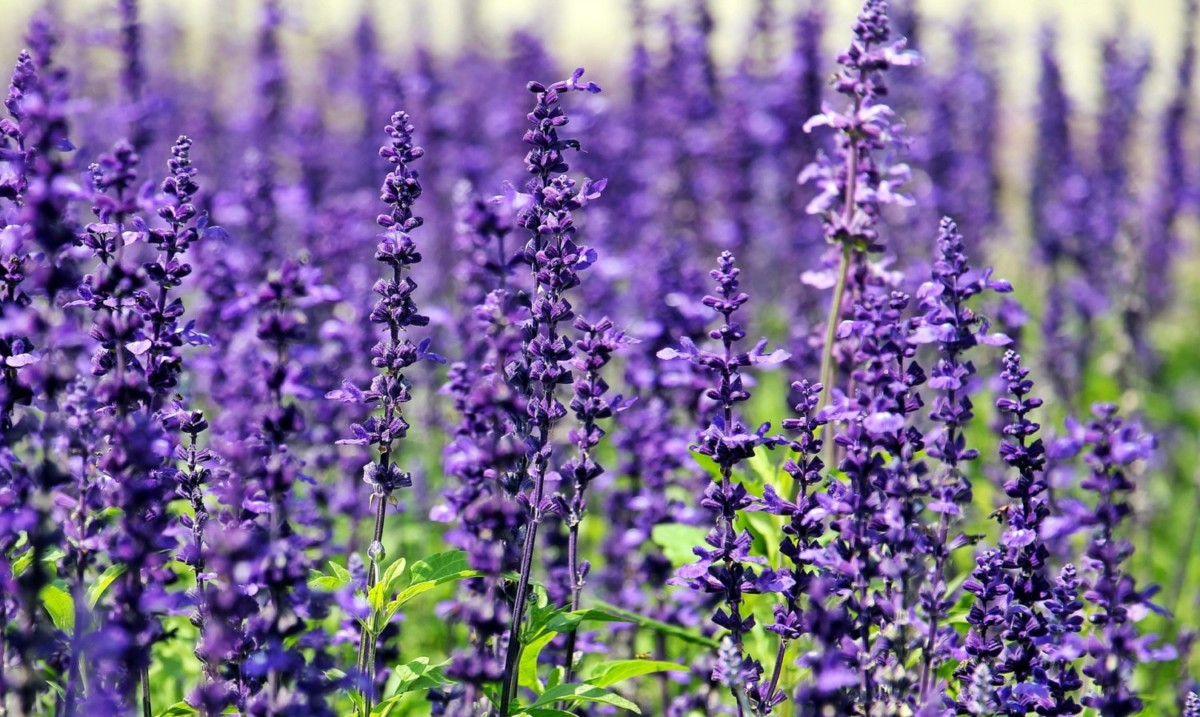 Dr Lavender S Guide To Growing Lavender Flower Magazine