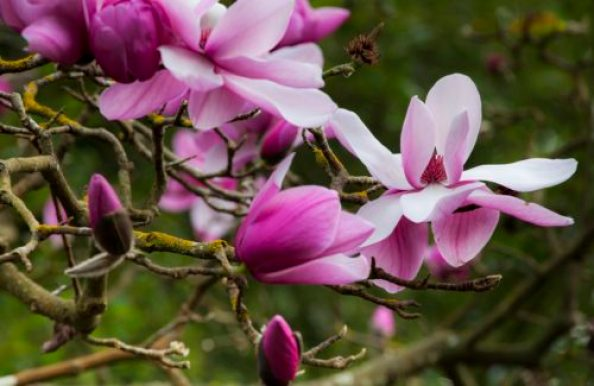 winter magnolias