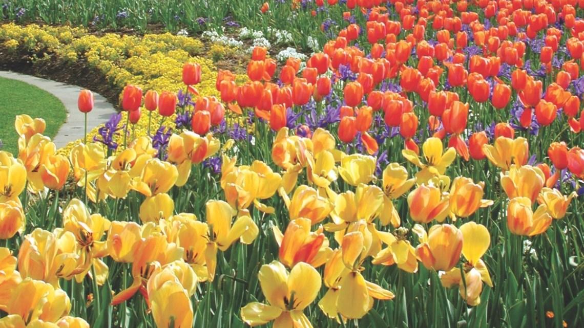 tulipomania history