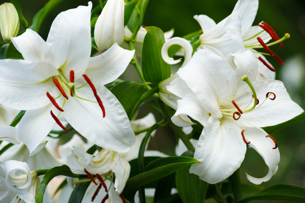 Consider the lily flower flower magazine home lifestyle easter lily flower dhlflorist Image collections