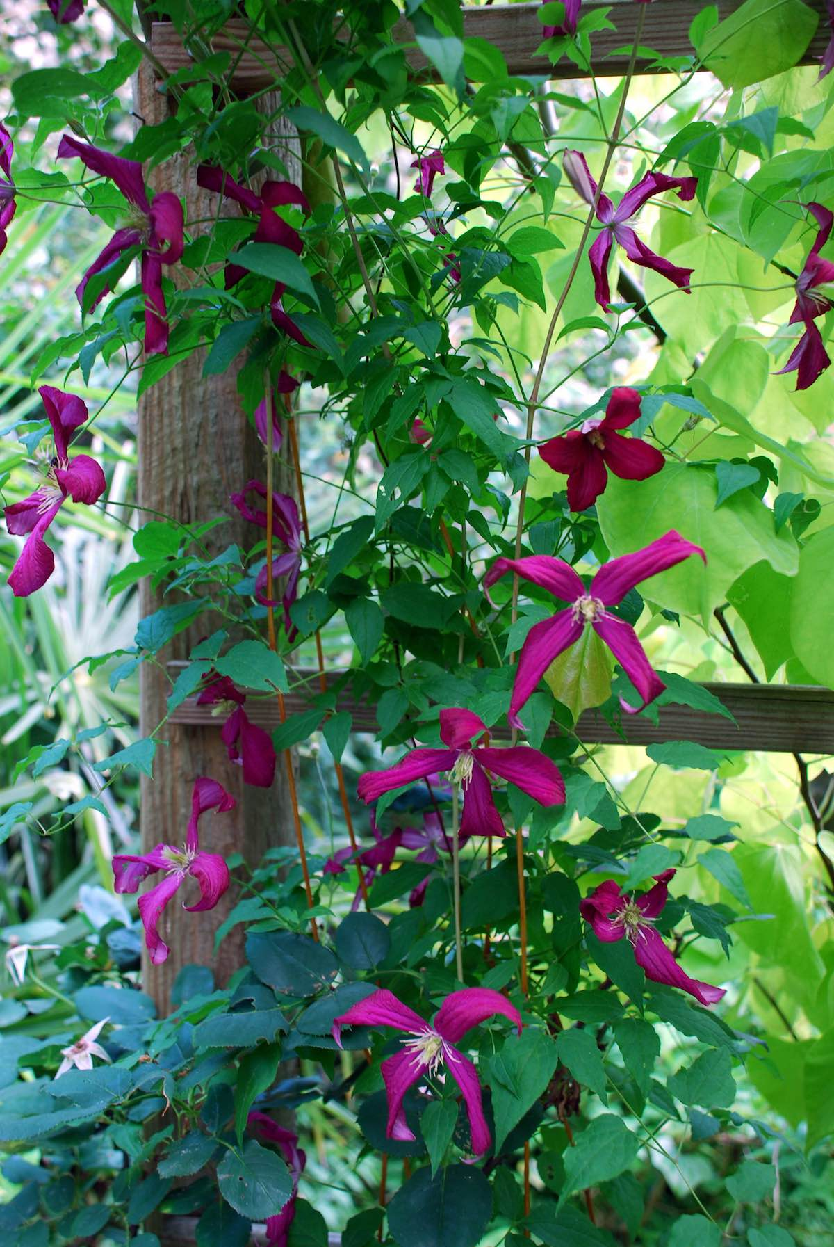 Flowering Vines Climbers Twiners Flower Magazine