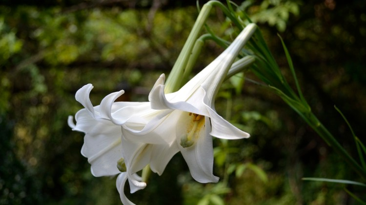 white fragrant flowers