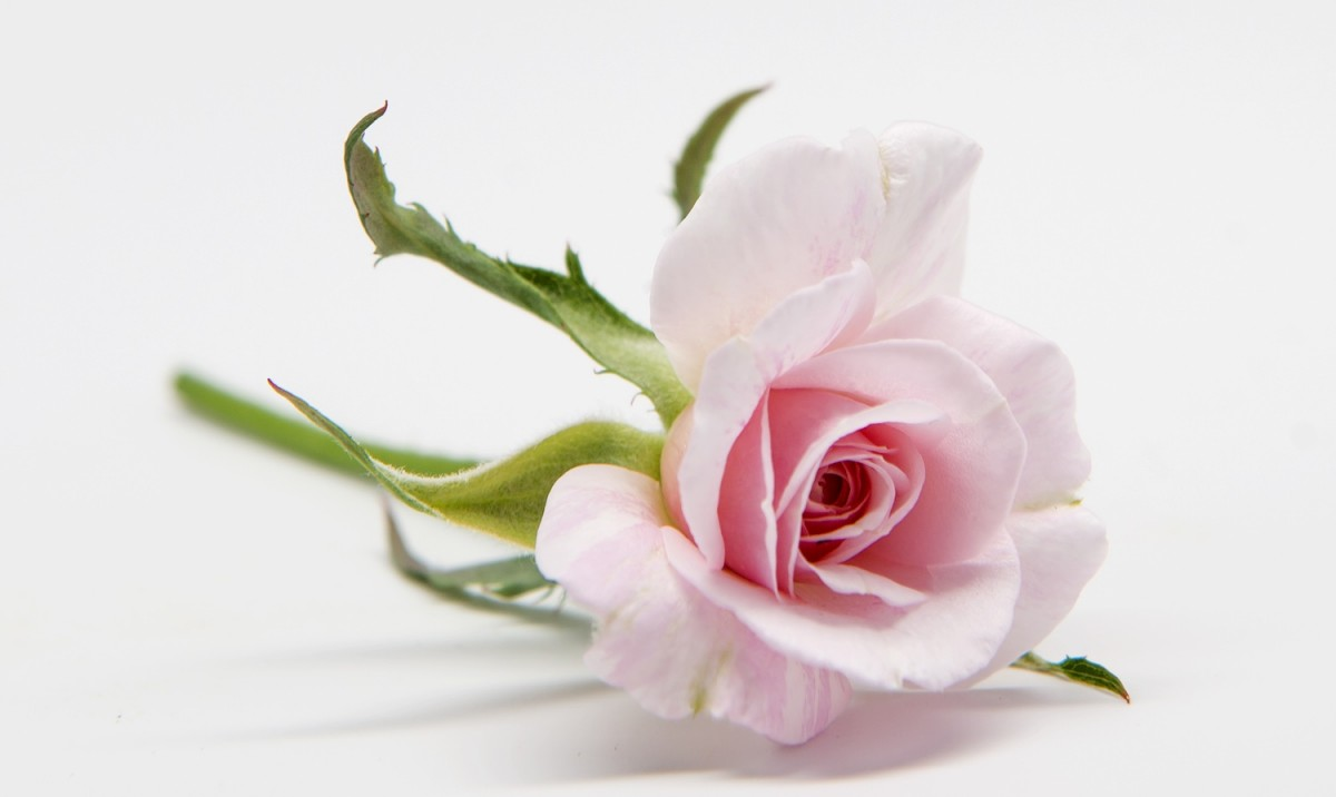 rose boutonniere rosa mystica - Garden Rose Boutonniere