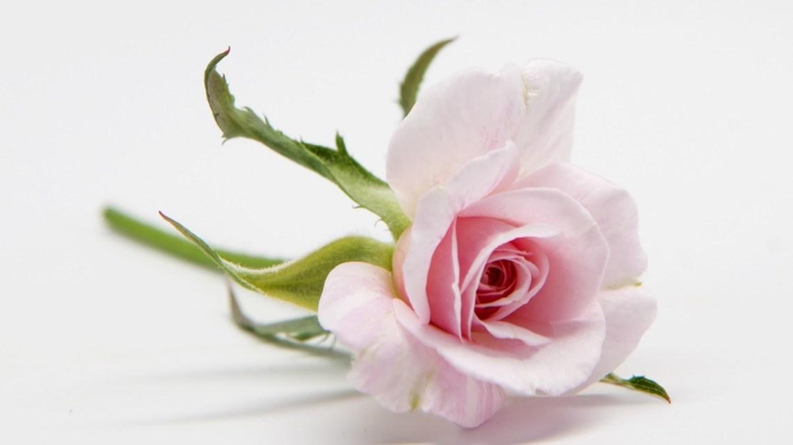 rose boutonniere, rosa mystica