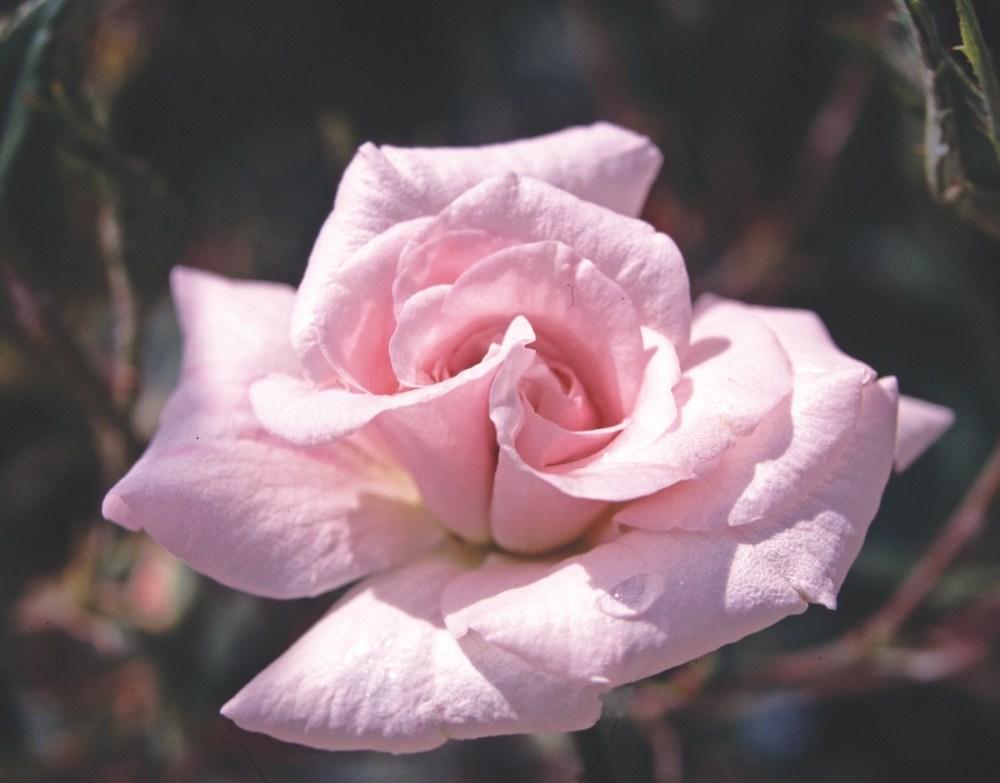 rosa mystica rose boutonniere - Garden Rose Boutonniere
