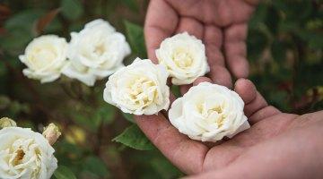 p allen smith rose garden