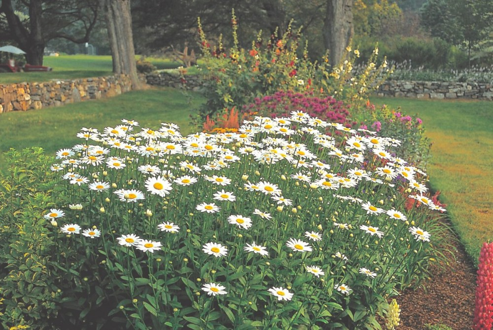Ultimate guide to shasta daisies varieties care and companion flowering border with a patch of shasta daisy becky mightylinksfo