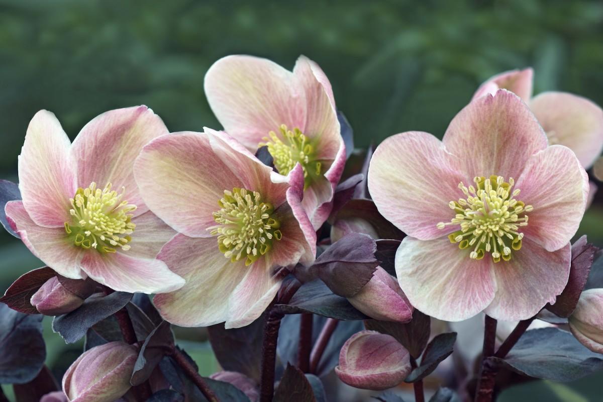 Helleborus Lenten Rose Care And Varieties Flower Magazine
