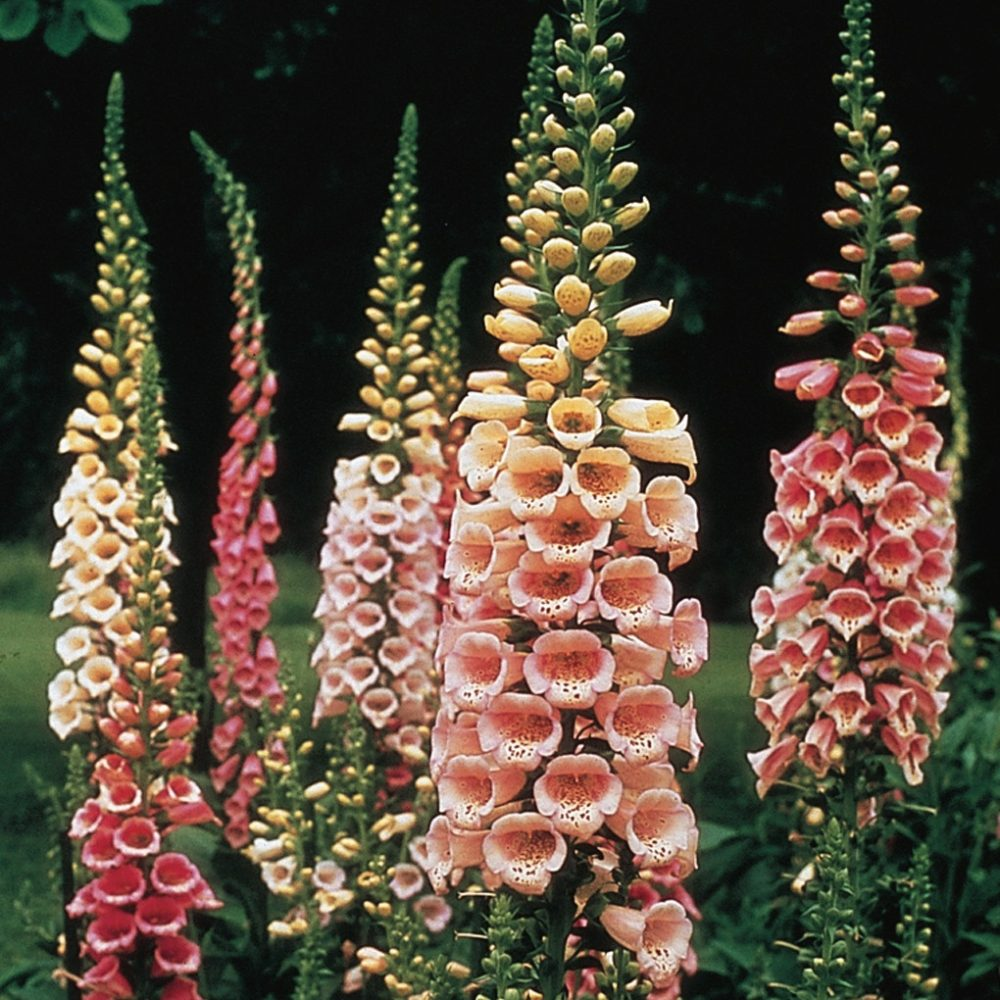 foxglove plant selections, excelsior