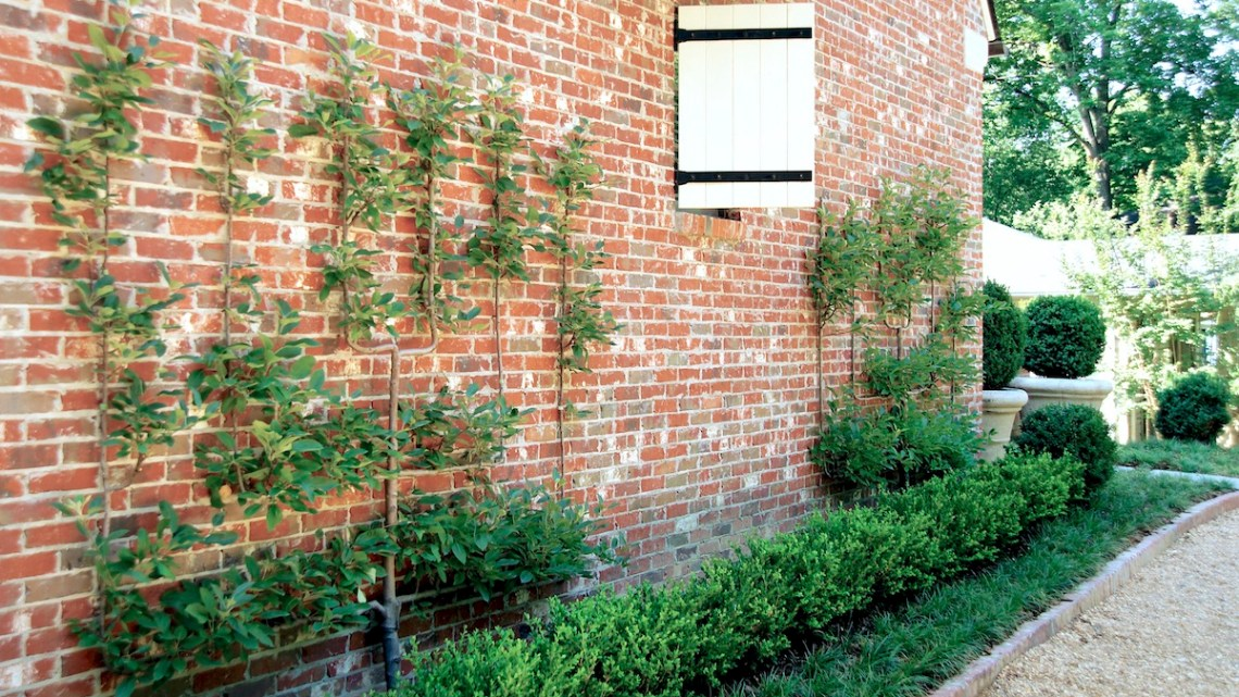 how to espalier apple trees, espalier fruit trees