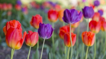 tulips for fall planting, bulb combinations