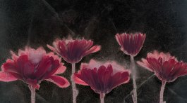 Sam Stapleto's work Asters, inverted luminosity